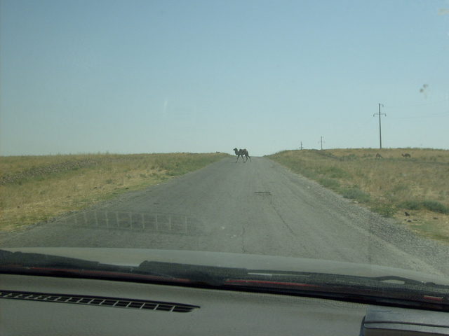 A camel crossing the road near Shanaq