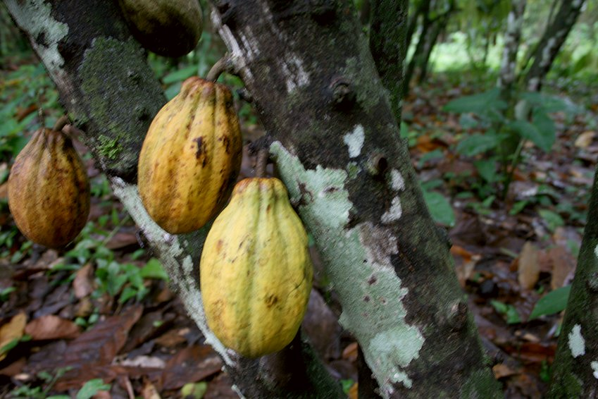 Cocoa serves as provisions