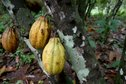#8: Cocoa serves as provisions