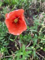 #7: These red poppies (and other wildflowers) were scattered around the field