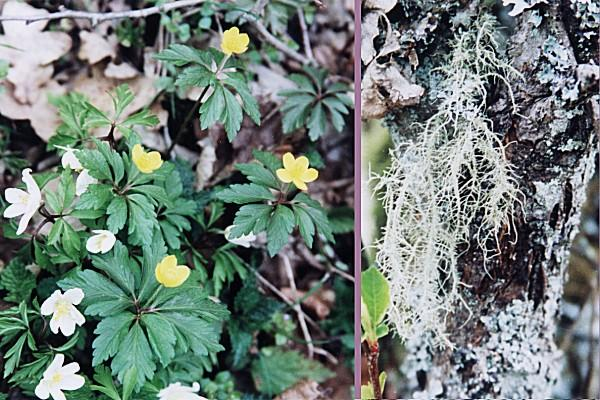 White and yellow anemones and Old Man's beard (Usnea hirta) lichen