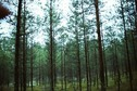 #6: Pine-tree forest at the CP