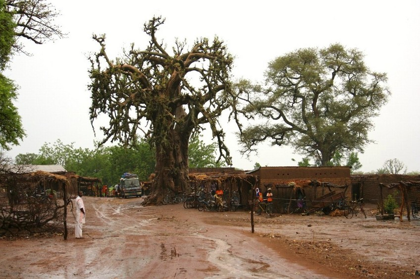 Baobab at the entrance of Sénou
