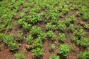 #10: The groundnut plants