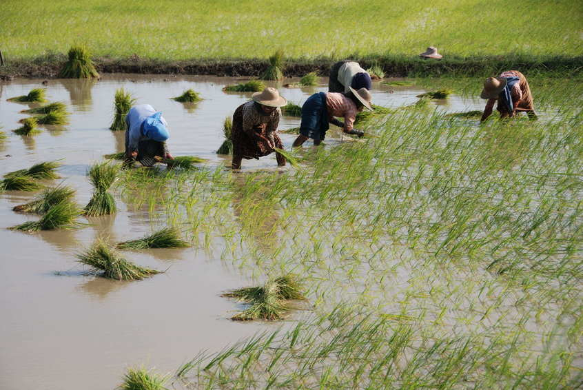 Planting rice within the confluence zone