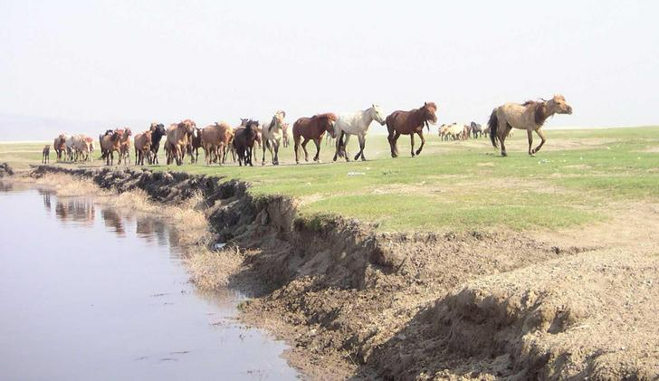Horses on the steppe
