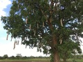 #10: The Sausage Tree (Kigelia africana)