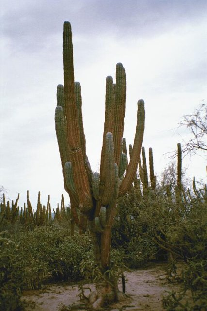 A saguaro cactus at the confluence point