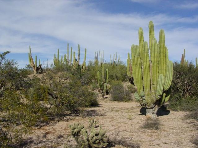 A more picturesque site nearby with giant cardon cactus