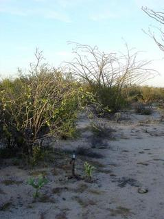 #1: The Confluence marked by the GPS in the lower part of picture on top of a cholla stump