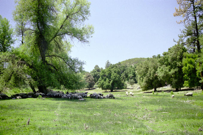 Sheep grazing south of confluence