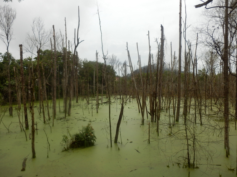Swamp with Duckweed