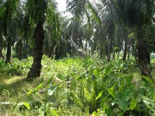 #1: In the middle of the oil plantations