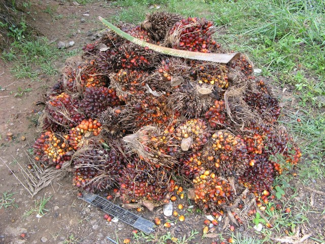 Recently harvested fruit from the palms, waiting for pickup by the side of the road to be turned into palm oil. The engraved frond on top says who the pile belongs to.