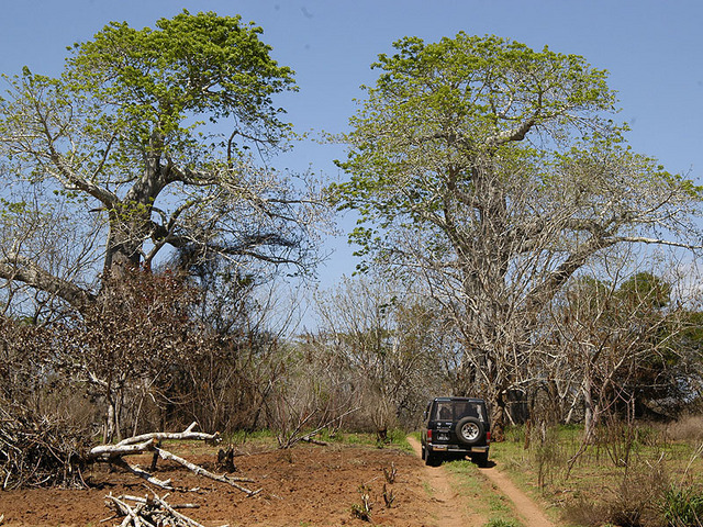 Baobabs near the Confluence