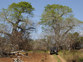 #8: Baobabs near the Confluence