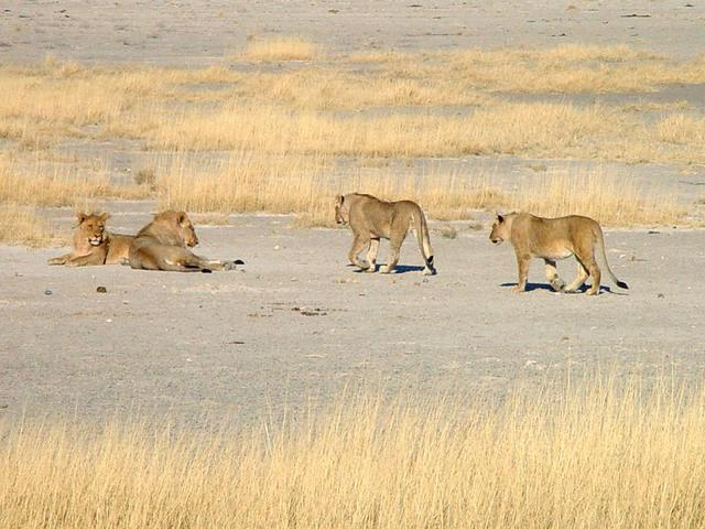 Group of four lions