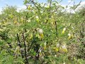 #11: Sickle bush