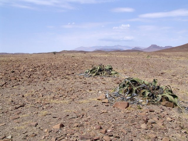 Welwitschia mirabilis with the Brandberg in the distance