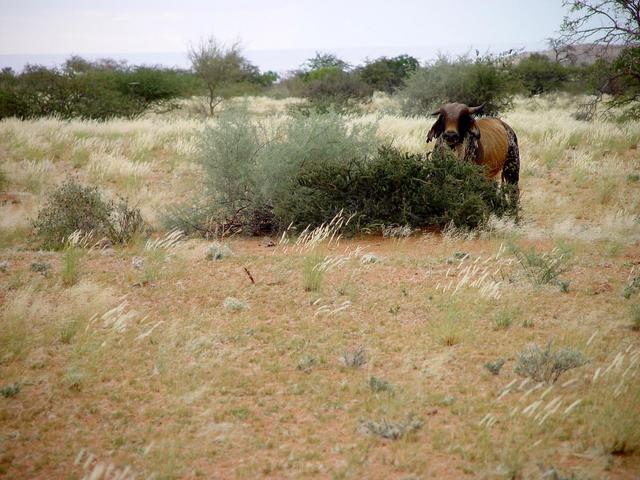 The large bull within meters of the Confluence