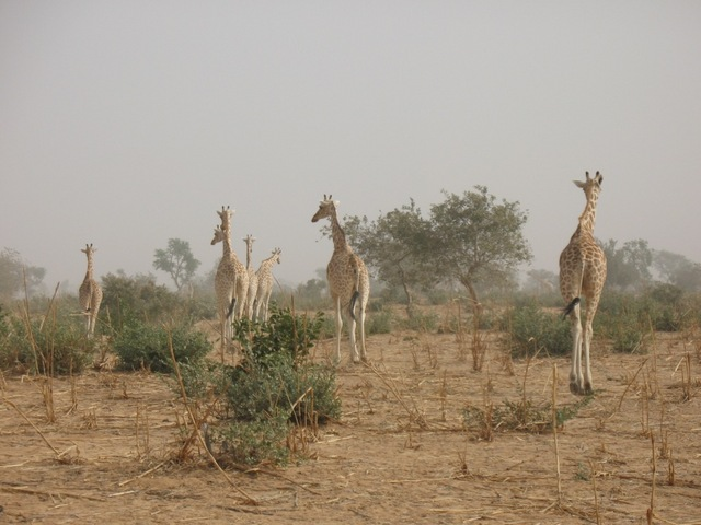 Giraffes around Kouré