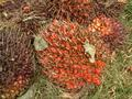#10: Palm fruit