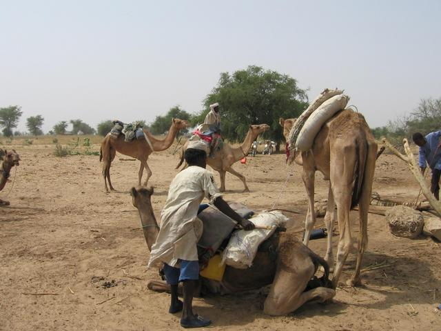Packing camels