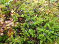 #11: Sweet crowberries