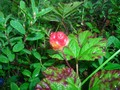 #7: Cloudberries