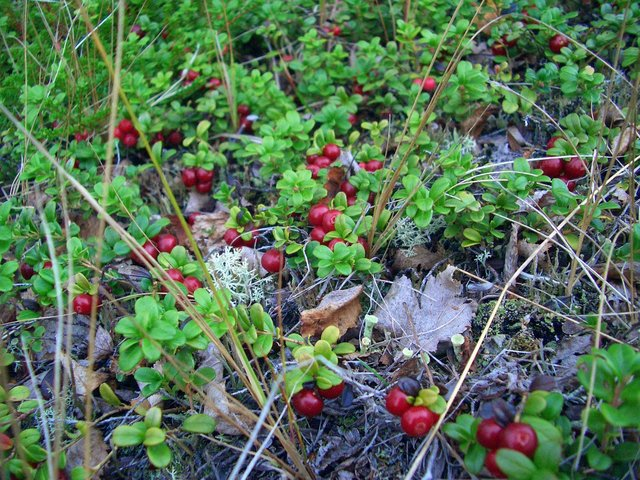 Red whortleberries