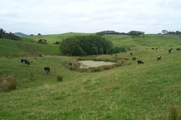 Typical NZ pastoral scene, dairy cows, pasture and a pond