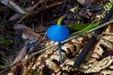#8: A native Sky Blue Mushroom, seen near Lake Hiwiroa