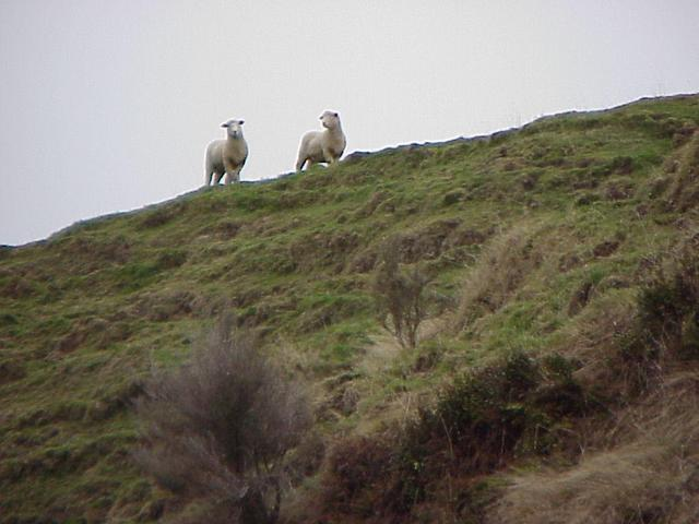 Curious sheep looking at us from the terrace; view to the southeast.
