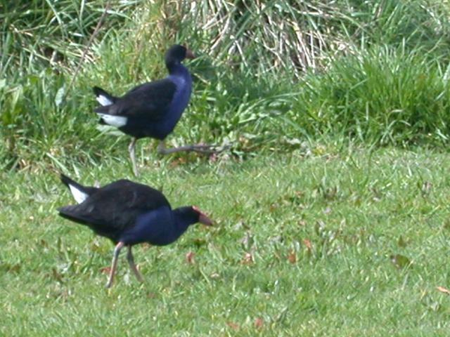 Pukekos (swamp hens) in field below confluence