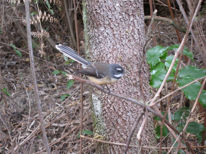 Fantail near the confluence point