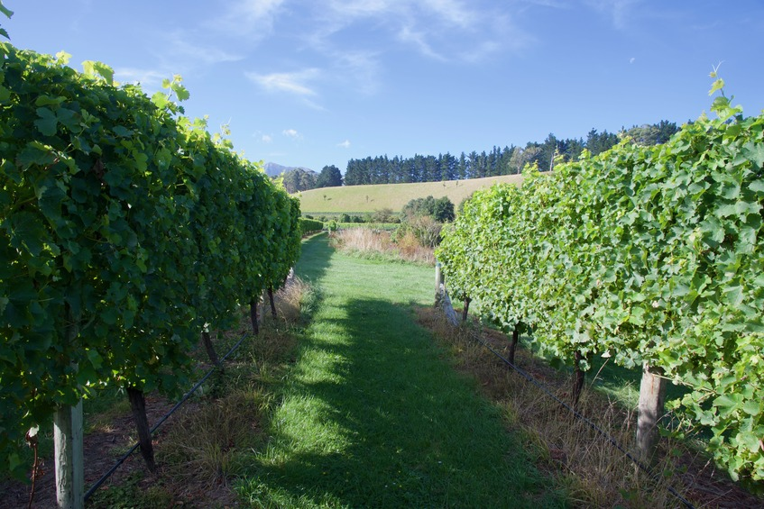 The confluence point lies between two rows of grapevines, in a vineyard. (This is also a view to the North.)