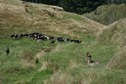 #8: Cattle grazing in a farm field near the point