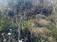 #5: Ground cover (tussock) at the confluence point