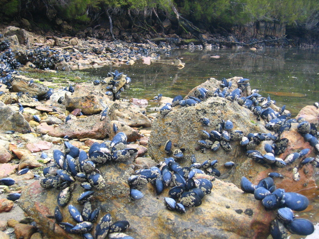 Blue Mussels at Low Tide