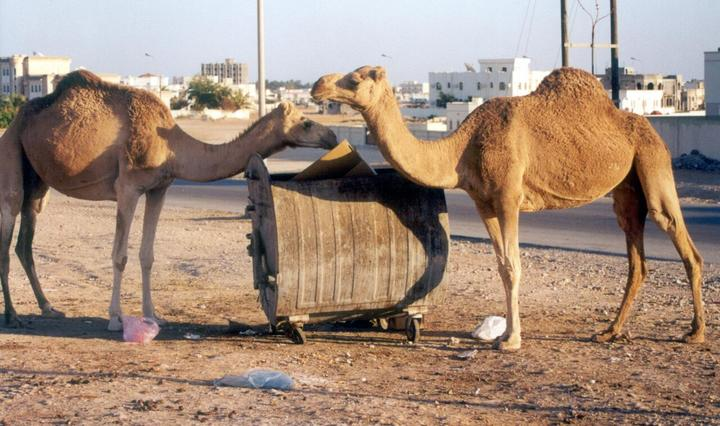 Urban camels foraging
