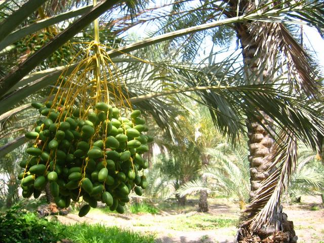 The famous Omani dates