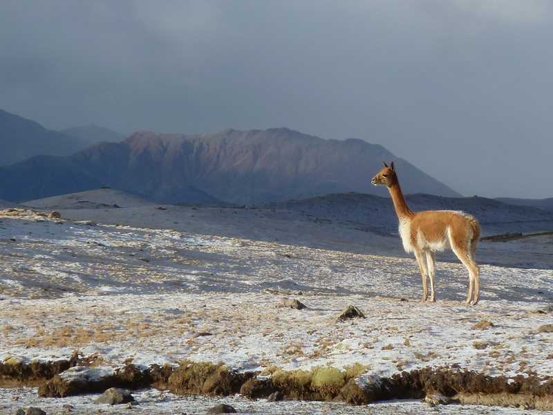 My witness: vicuña