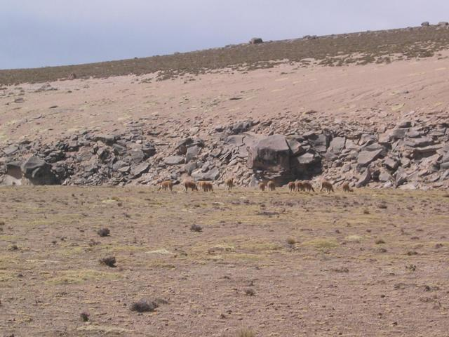 Vicuñas grazing nearby