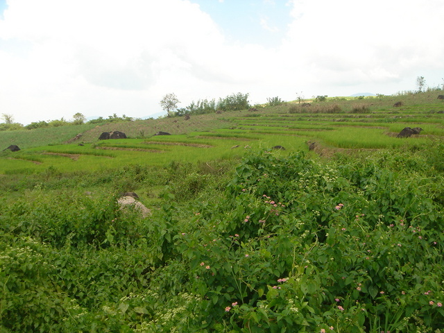 Typical scene of tiered paddy in the area.