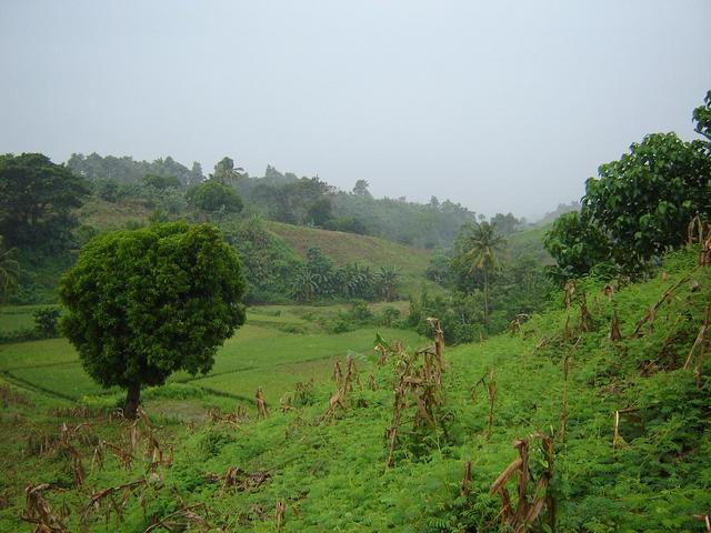 View West from Confluence area, note rice paddies behind the Mango tree
