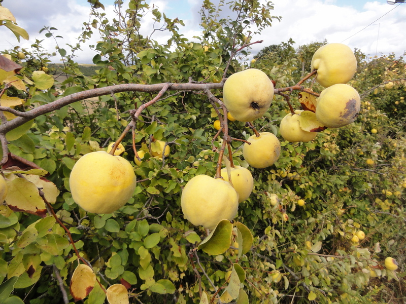 Aromatic Quinces in the field hedge