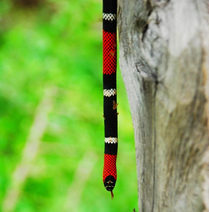 Coral. Coral snake