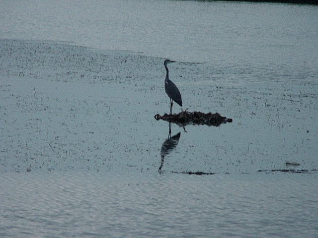 Bird on a lake/Barza