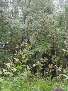 #1: Рябина кудрявая  (Lush European Mountain-Ash  tree)