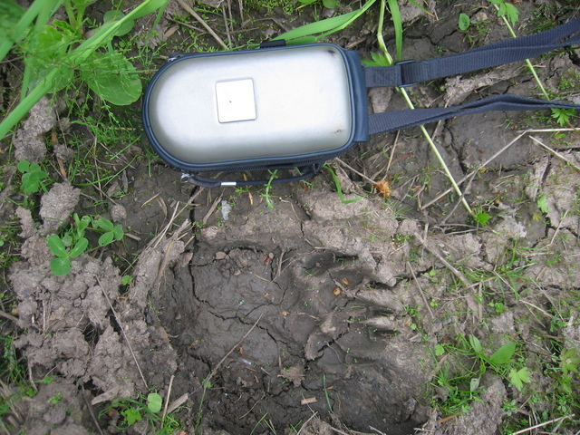 The footprint of a bear, found at the timber-carrying road between Sverdlovsk and Perm Regions of Russia (between Verkhnyaya Oslyanka and Kyn villages). Photocamera case is put beside for size comparison (the length of the case is 18 centimetres).